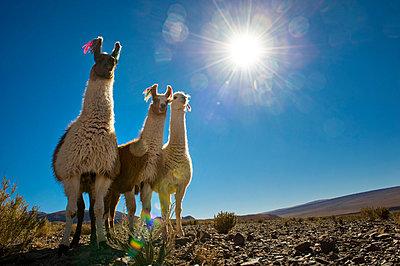 The llama (Lama glama), Atacama desert, Chile - p871m2101239 by Antonio Busiello
