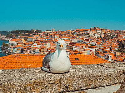 Portugal, Porto, Seagull on a wall - p1681m2263292 by Juan Alfonso Solis
