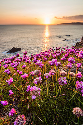 Crohy Head, County Donegal, Ulster region, Ireland, Europe. Flowers blooming on top of the cliffs at sunset. - p651m2007405 by Marco Bottigelli