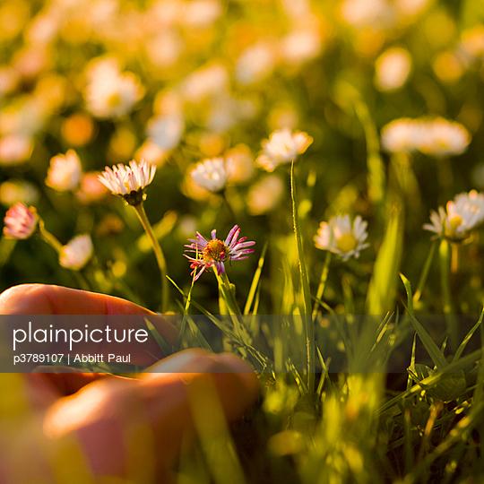 Male hand picking daisies - p3789107 by Abbitt Paul