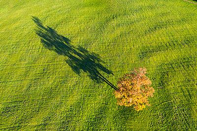 Germany, Bavaria, Upper Bavaria, Alpine foothills, Toelzer Land, Aerial vie of oak tree in autumn, shadow on meadow - p300m2083905 by Martin Siepmann