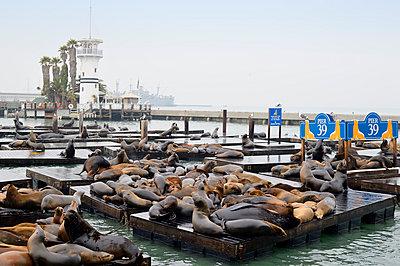 USA, California, San Francisco, sea lions in harbor at Pier 39 - p300m981618f by Biederbick&Rumpf