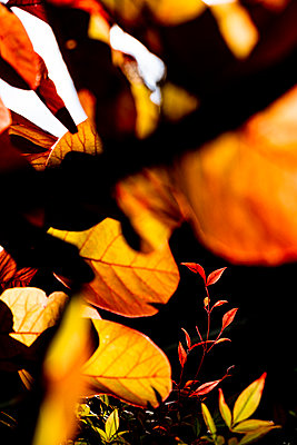 autumn sun showing the leaf structure, veins and texture. - p1057m2134640 by Stephen Shepherd