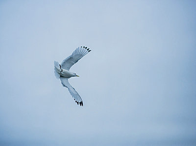 Seagull gliding on a cloudy day, Iceland - p1084m833284 by Operation XZ