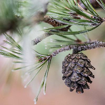 Pine cone on twig - p312m1471608 by Fredrik Schlyter