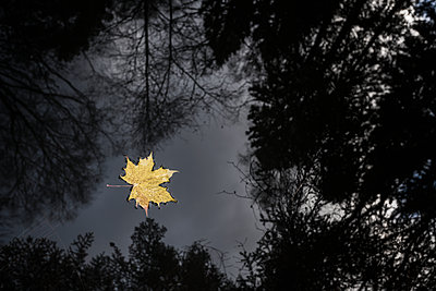Yellow maple leaf floating on water - p312m1532994 by Mikael Svensson