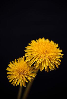 Two dandelions - p971m911934 by Reilika Landen