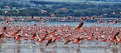 Kenya, Great Rift Valley, Lake Nakuru, lesser flamingos - p300m1120765f by David Santiago Garcia