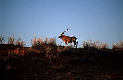 Gabelhornantilope - p3300486 von Harald Braun
