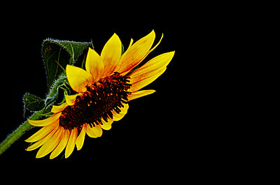 Close-up of sunflower - p577m2116826 by Mihaela Ninic