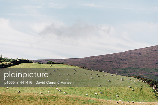 Schafe auf den Wicklow Mountains - p1085m1441416 von David Carreno Hansen