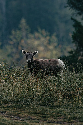 The wild goats of Jasper National Park in Canada - p1455m2092349 by Ingmar Wein