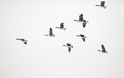 Wild goose - p2351210 by KuS