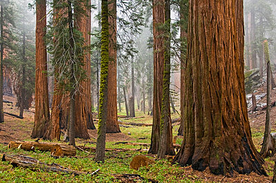 Sequoia trees in Sequoia National Park, California, United States of America - p4429510f by Design Pics