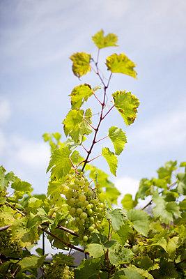 Grapes - p5861187 by Kniel Synnatzschke