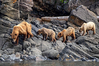 Female coastal brown bear and cubs, Katmai National Park, Alaska, USA - p651m2271114 by Paul Joynson Hicks photography