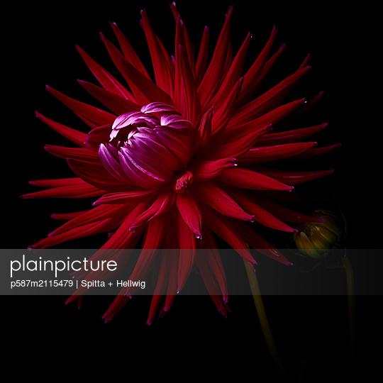Dahlia blossom in dark red shades - p587m2115479 by Spitta + Hellwig