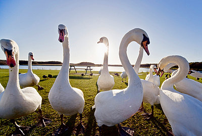 Swans outdoors - p4429427f by Design Pics