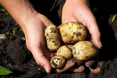 Kartoffelernte - p553m937870 von Christine Basler