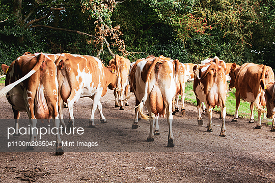 Herd of Guernsey cows being driven along a rural road.  - p1100m2085047 by Mint Images