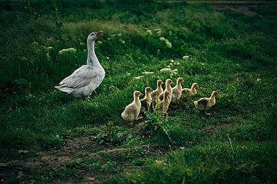 Duck watching ducklings walk in grass - p555m1504226 by Dmitry Ageev