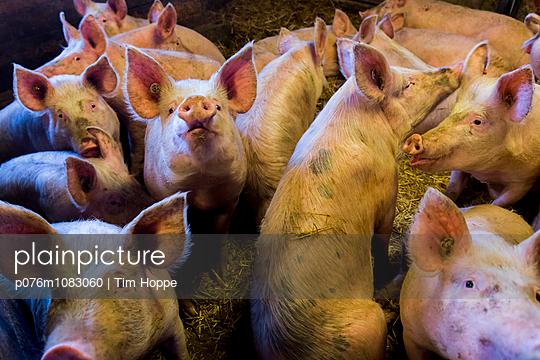Schweine - p076m1083060 von Tim Hoppe