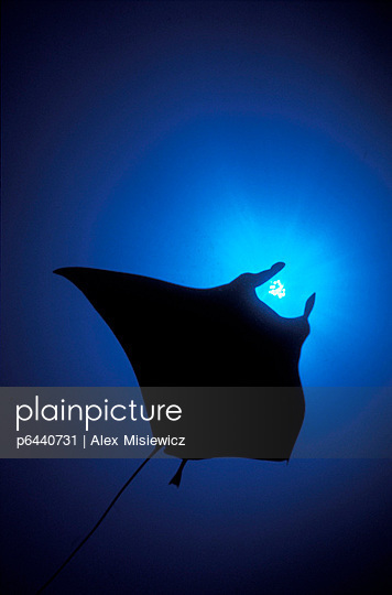 Silhouette of sting ray and  shaft of light in blue water - p6440731 by Alex Misiewicz