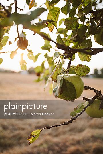 Apfelbaum mit reifen Äpfeln im Sonnenlicht - p946m956206 von Maren Becker