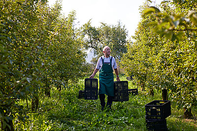 Organic farmer harvesting williams pears, carrying boxes - p300m2140720 by Sebastian Dorn