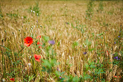 Red poppy wildflowers in rural wheat field - p301m2018521 by Norman Posselt
