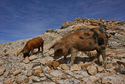 Zwei Schweine in der Landschaft - p390m1190320 von Frank Herfort