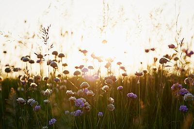 Wildblumen - p464m1040756 von Elektrons 08