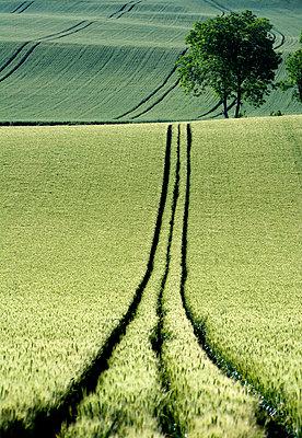 Tire tracks in a wheat field Auvergne. France. - p813m924350 by B.Jaubert