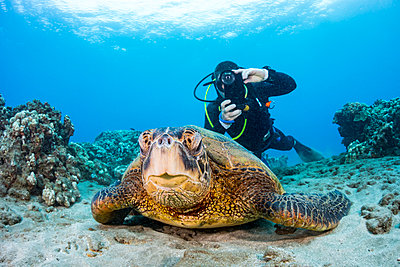 A photographer lines up with his smart phone in a housing on this Green sea turtle (Chelonia mydas) off the coast of Maui; Hawaii, United States of America - p442m2003593 by Dave Fleetham
