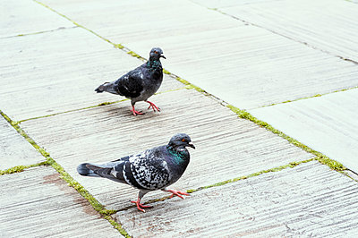 Two pigeons walking on paving - p1047m1090530 by Sally Mundy