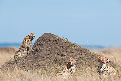 Four cheetahs - p533m1225565 by Böhm Monika