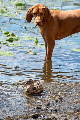 Vizsla watching young mallard duck - p739m2007933 by Baertels