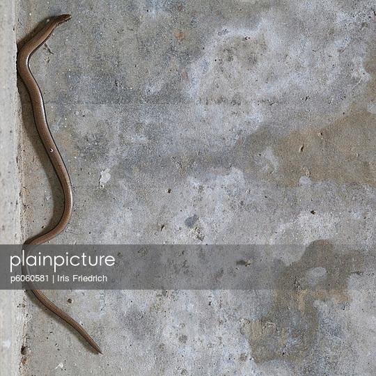 Blindschleiche - p6060581 von Iris Friedrich