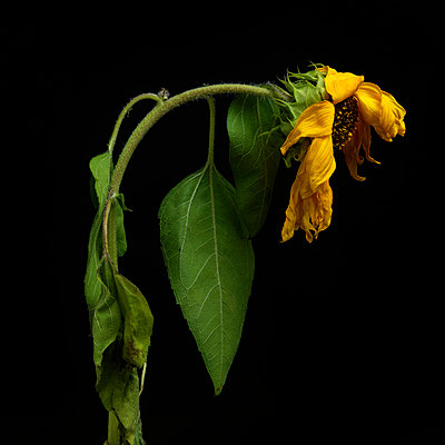 Sunflower death and tilted. - p813m938436 by B.Jaubert