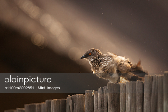 An arrow marked babbler, Turdoides jardineii, shakes water off itself  - p1100m2292851 by Mint Images