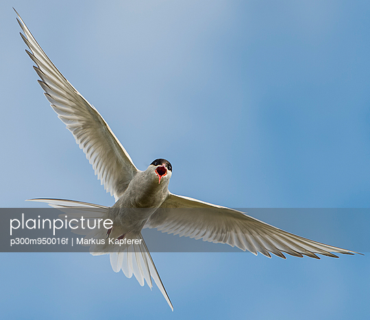 Iceland, Arctic Tern, Sterna paradisaea, flying - p300m950016f by Markus Kapferer
