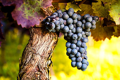 Red grapes hanging from vine - p300m1505249 by pure.passion.photography