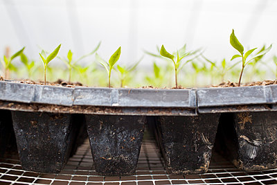Detail fo plant seedling in tray. - p343m1090013 by Monica Donovan