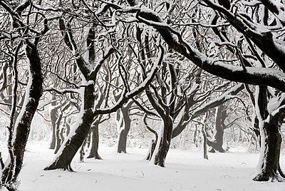 England, West Yorkshire, Calderdale. Snow falling in deciduous woodland. - p651m2007081 by Robert Birkby