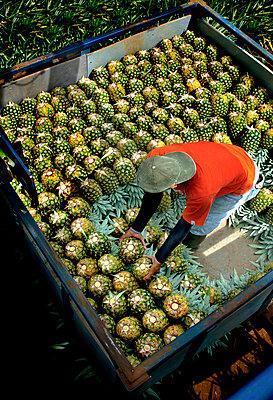 Costa Rica, La Virgen de Sarapiqui, Pineapple Plantation, Loading And Organizing Picked Pineapples, Trailor - p651m860512 by John Coletti photography