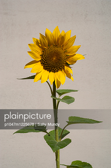 Sunflower - p1047m1225678 by Sally Mundy