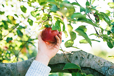 Photo of a hand picking an apple from a tree. - p1166m2171974 by Cavan Images