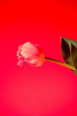 Tulpe vor rotem Hintergrund - p432m1539812 von mia takahara