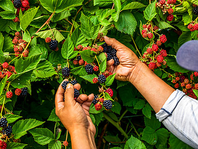 Inspection of ripening blackberries on a plant; Nova Scotia, Canada - p442m2058111 by Richard Desmarais