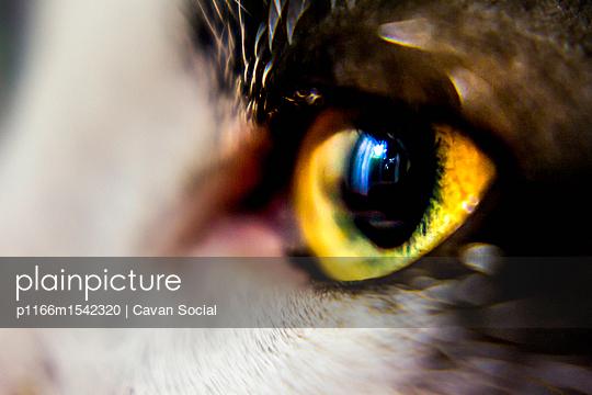 plainpicture | Photo library for authentic images - plainpicture p1166m1542320 - Close-up of cat's yellow eye - plainpicture/Cavan Images/Cavan Social